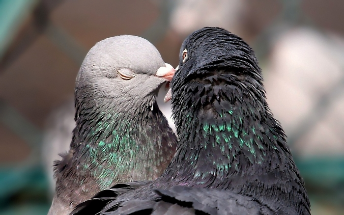 golubki